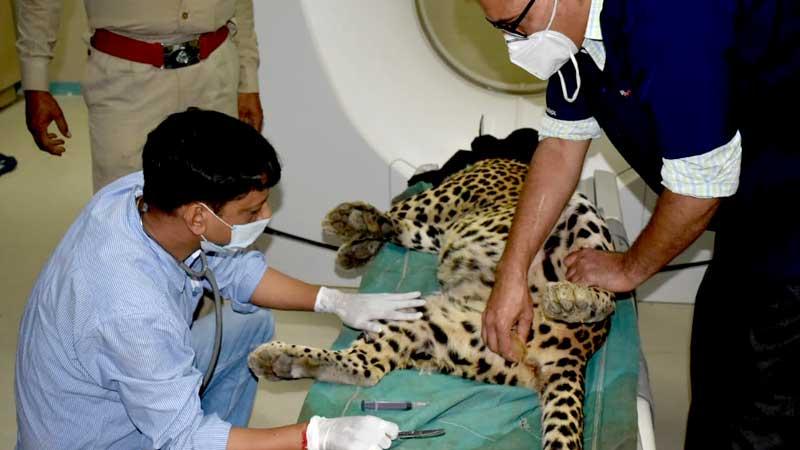 घायल तेंदुए को सी.टी. स्केन के बाद स्वस्थ हालत में रवाना किया गया।